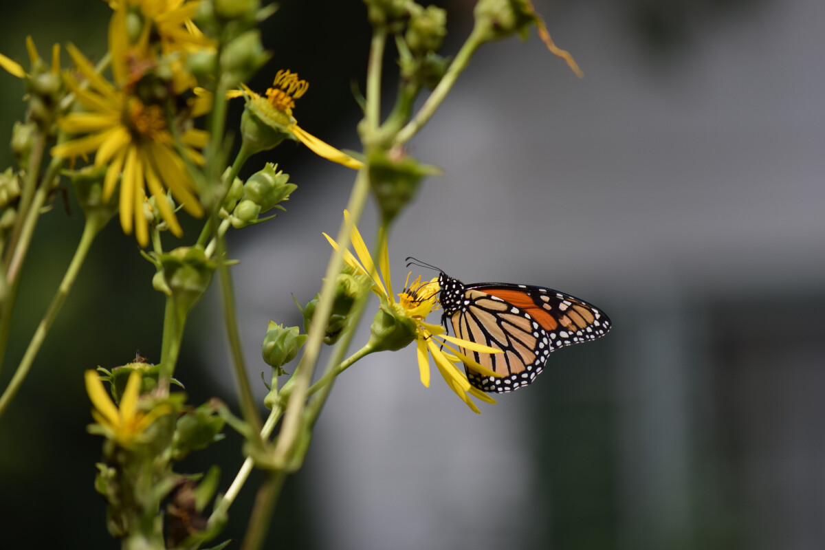 A Monarch butterfly feeding on a Cup Plant