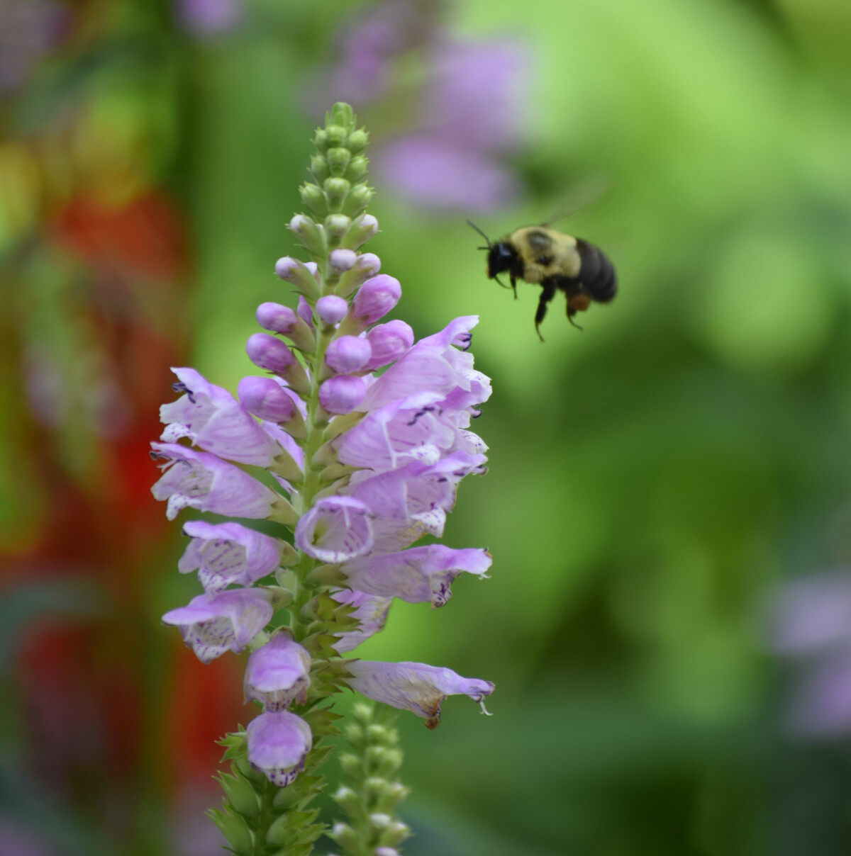 Bee approaching flowers of an Obedient Plant