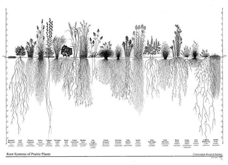 Drawing depicting a side-by-side comparison of the root systems of different prairie plants